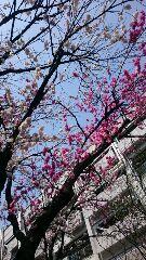 桜祭りもも