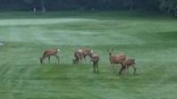 ゴルフ場鹿